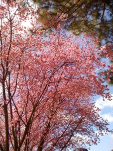 Redbud and blue sky